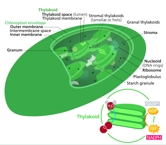an introduction to mitochondrias evolution from the chloroplast Figure 341 shows the endosymbiosis model for mitochondrial evolution, in which primitive cells captured bacteria that provided the functions that evolved into mitochondria and chloroplasts at this point, the proto-organelle must have contained all of the genes needed to specify its functions.