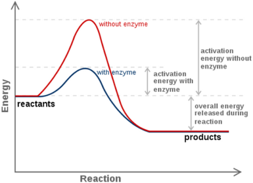 Effect of temperature on catalase