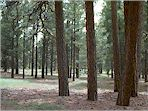 ponderosa_forest_small.jpg (15304 bytes)